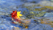 Stock Video Footage of Multi-colored autumn leaves on the water.
