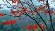 Red maple branch in the rain. Stock Footage