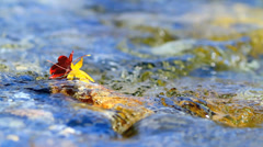 Multi-colored autumn leaves on the water. Stock Footage