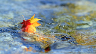 Stock Video Footage of Multi-colored autumn leaves floating on the water.