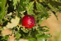 oak apple - agalla de roble - stock photo