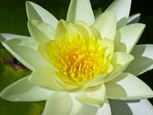 Stock Photo of green and yellow lily pad flower