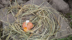 Straw bird nest on stone and chicken hen egg fall and break up Stock Footage