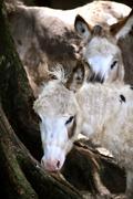 Donkeys stare Stock Photos