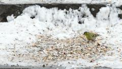 Eurasian Siskin (Carduelis spinus)  picking up a seed Stock Footage