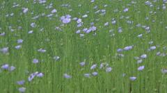 Flowering flax 218 Stock Footage