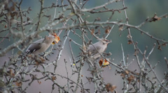 Typical Waxwings Stock Footage