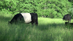 A herd of cows in the countryside (6 of 6) Stock Footage