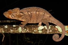 The Introduced Oustalet's Chameleon (Furcifer oustaleti) - stock photo