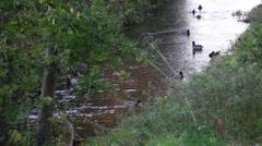 Aare River's Ducks Stock Footage