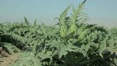 Artichoke plant blowing in the wind. - stock footage