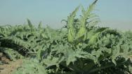 Stock Video Footage of Artichoke plant blowing in the wind.