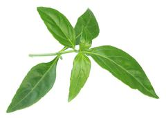 Ayurvedic medicinal chirata leaves Stock Photos