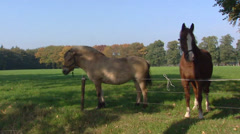Norwegian Fjord horse and European warmblood in small scaled landscape Stock Footage