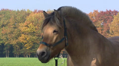 Norwegian Fjord horse close up head and strong arched neck - on camera Stock Footage