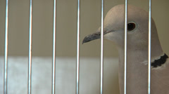 Jumping pigeon in cage at birdshow Stock Footage