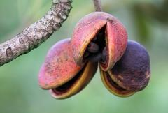 hazel sterculia or tropical chestnut - stock photo