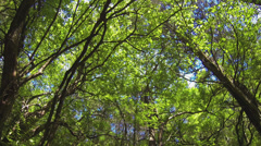 130914 Forest Canopy 1 HD Stock Footage