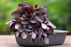 fresh red amaranth - stock photo