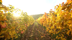 Vineyard with Sun backlight in autumn Stock Footage