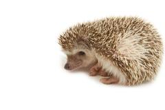 hedgehog , african pygmy hedgehog - stock photo