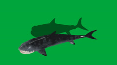Great White Shark Overhead View FS - stock footage