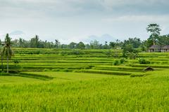 Rice fields in Bali Stock Photos