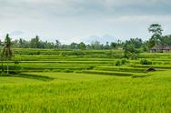 Stock Photo of Rice fields in Bali