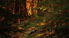 Fall Foliage in Maine Woods Stock Video Stock Footage