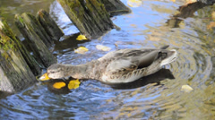 Duck looking for food in the pond. Gatchina, Russia Stock Footage