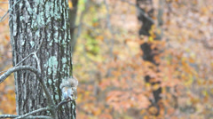 Grey Squirrel Nut Stock Footage