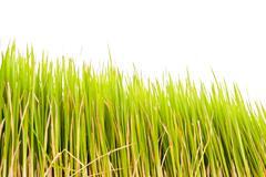Rice plant . Stock Photos
