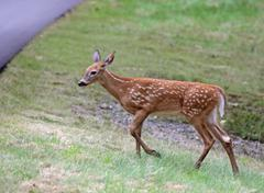 fawn approaching the road - stock photo