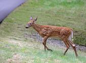 Stock Photo of fawn approaching the road