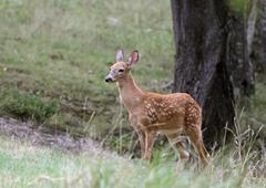 Fawn and tree Stock Photos