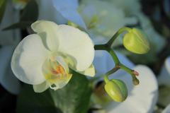 Stock Photo of phalaenopsis orchid in bridal bouquet