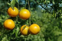 fresh orange on tree - stock photo
