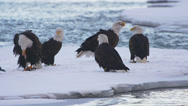 Stock Video Footage of Bald Eagle Powwow on Snowy Ice with Tussle for Fish