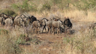 Stock Video Footage of Blue wildebeest