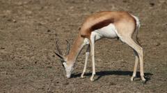 Grazing springbok antelope Stock Footage