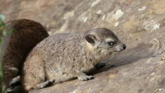 Rock hyrax basking Stock Footage