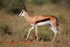 Springbok antelope - stock photo