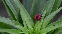 Pair scarlet lily bettles mating colugating on dewy plant leaves Stock Footage
