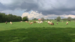 Stock Video Footage of Charolais cattle in Dutch pasture, cumulus clouds, dramatic sky