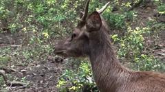 Sambar Dear (Rusa unicolor) - 4/6 Stock Footage