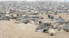Huge colony of fur seals at cape cross, namibia Stock Footage