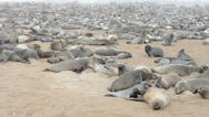Stock Video Footage of huge colony of fur seals at cape cross, namibia