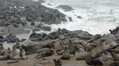one of the largest colonies of fur seals in the world - stock footage