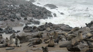 Stock Video Footage of one of the largest colonies of fur seals in the world