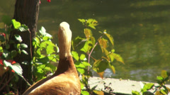 Female Ruddy Shel duck taking off, cute duck, exotic flying bird, migratory Stock Footage